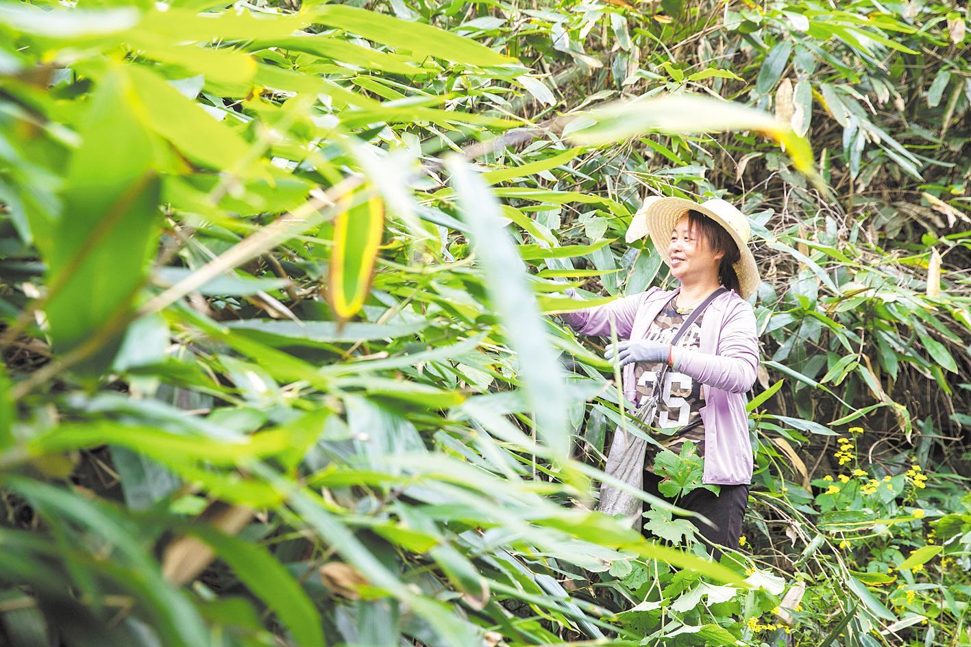 野生箬叶带动三万人增收